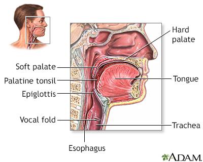 Throat anatomy
