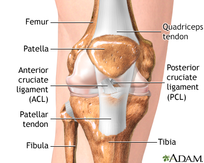 a look at the anterior cruciate ligament acl