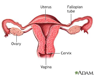 Normal uterine anatomy (cut section)